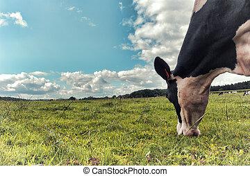 vaca, campo, negro, verde blanco, pasto
