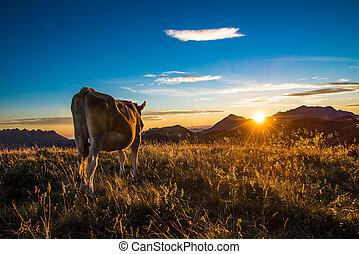vaca, comida, en, un, montaña, en, ocaso