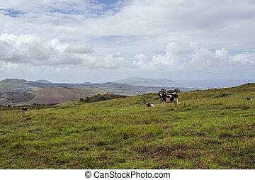 vaca, en, el, isla, de, pascua., rapa, nui., isla de pascua