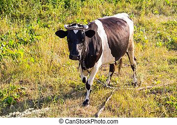 vaca, en, el, pasto