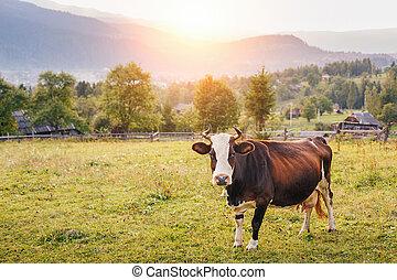 vaca, en, un, montaña, pradera, en, ocaso