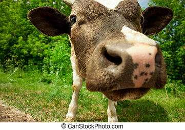 vaca, en, un, verano, pasto