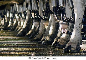 vaca, facilidad, industria, -, lechería, ordeñar