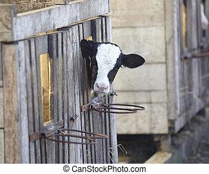 vaca, granja, agricultura, bovino, leche