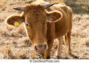 vaca, granja, agricultura