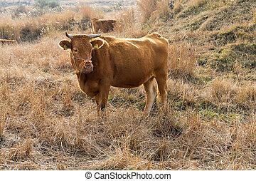 vaca, granja