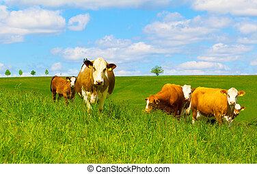 vaca, ligado, um, pasto verde