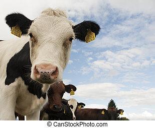 vaca, observar