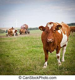vaca, pasto, en, un, encantador, pasto verde
