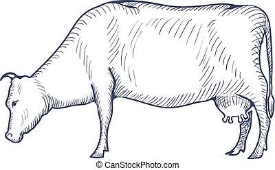 vaca, vendimia, aislado, ilustración, fondo., vector, blanco...