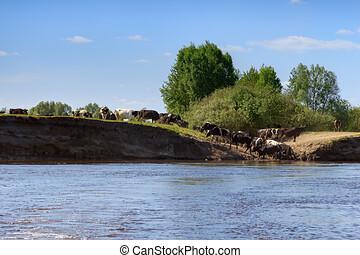 vacas, banco, descender, escarpado, río, bar