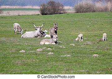 vacas, burros, sheep, pasto