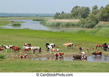 vacas, caballos, río