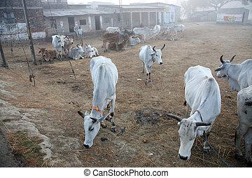 vacas, campo, grupo, pasto