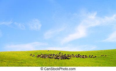 vacas, campo, rebanho