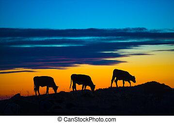 vacas, comida, en, un, montaña, en, ocaso