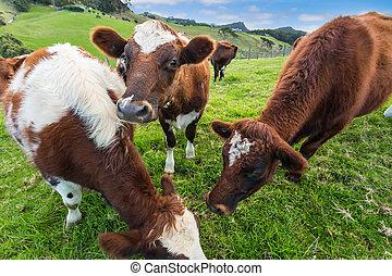vacas, comida, pasto o césped