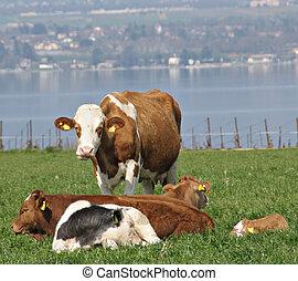 vacas, contente