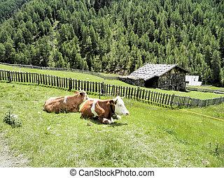 vacas, contente, pasto