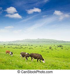 vacas, em, a, gramado