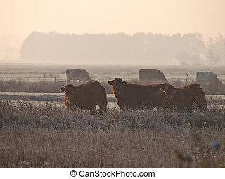 vacas, em, a, névoa
