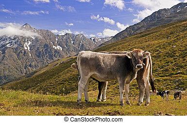 vacas, em, alps austrian