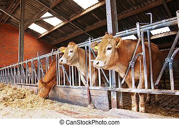 vacas, em, estável