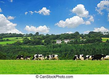 vacas, em, um, pasto