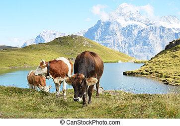 vacas, en, alpino, meadow., jungfrau, región, suiza