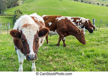 vacas, en, campo