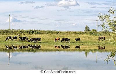 vacas, en, pasto, en, el, verano