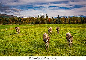 vacas, en, un, campo de la granja, cerca, jefferson, nuevo,...