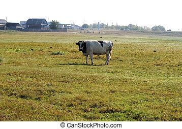 vacas, en, un, verano, pasto