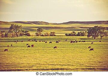 vacas, en, verano, pasto