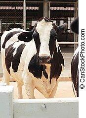 Vacas, fazenda, leiteria