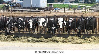 vacas, feeeding, fila