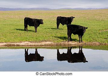 vacas, gama, reflexión