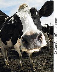 vacas, granja