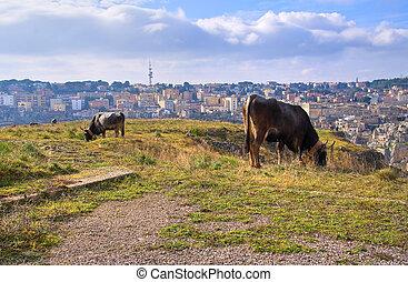 vacas, grazing.