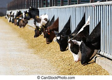 vacas, leiteria, comer