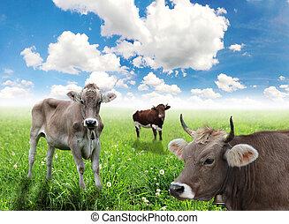 vacas, ligado, um, prado