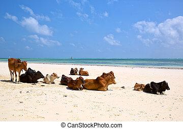 vacas, marrón, africano