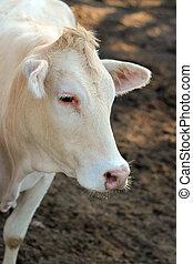 vacas, mirar fijamente