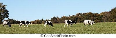 vacas, panorama, leiteria, bandeira
