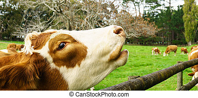 vacas, parque, cornwall