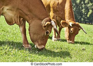 vacas, pastar