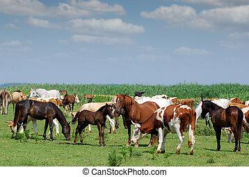 vacas, pasto, caballos