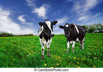 vacas, pasture., frisio, lechería
