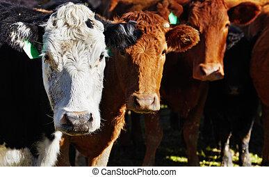 vacas, rebanho