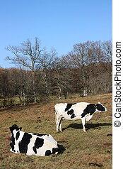 vacas, sol, leiteria